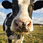 За борги конфісковують, корів, кролів і навіть курей. Як Мін'юст продає тварин на аукціонах