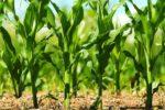 Ефективні прийоми обробітку ґрунту під кукурудзу