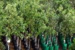 Вирощування та реалізація саджанців дерев – від хобі до бізнесу