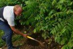 На Львівщині фермер заклав плантацію білих трюфелів