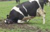 На Тернопільщині від сказу загинула корова