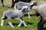 У селі на Тернопільщині подружжя фермерів вирощують овець унікальної породи