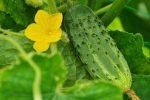Ціна на огірок в Україні за тиждень знизилася на 40%