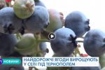 Найдорожчі ягоди вирощують у селі під Тернополем (Відео)