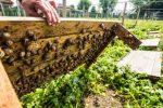На Львівщині фермер розпочав збирання врожаю виноградних равликів