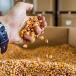 Вирощування кукурудзи на насіння у 10 разів прибутковіше товарних посівів — експерт