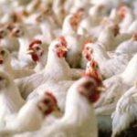 Україна звернулась до країн ЄС щодо зняття обмежень на поставки курятин