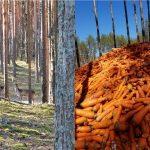 Рівненщина: Тонни моркви вивантажили у лісі