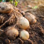 В Україні підтримуватимуть виробників картоплі