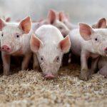 На Одещині спалах африканської чуми свиней