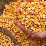 Українські аграрії намолотили майже 27 млн тонн кукурудзи