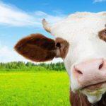 В Україні визначили корів з найвищою життєвою продуктивністю