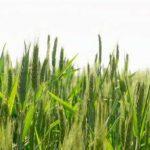 Аграрії Херсонщини у тривозі: через негоду є ризик втрати 25% зернових