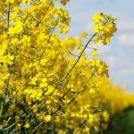 У двох областях України закінчили збирати ріпак