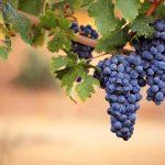 Садівники очікують зібрати в 6 разів менший врожай винограду